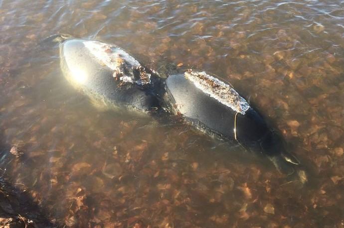 мёртвых нерп выбросило на берег Байкала