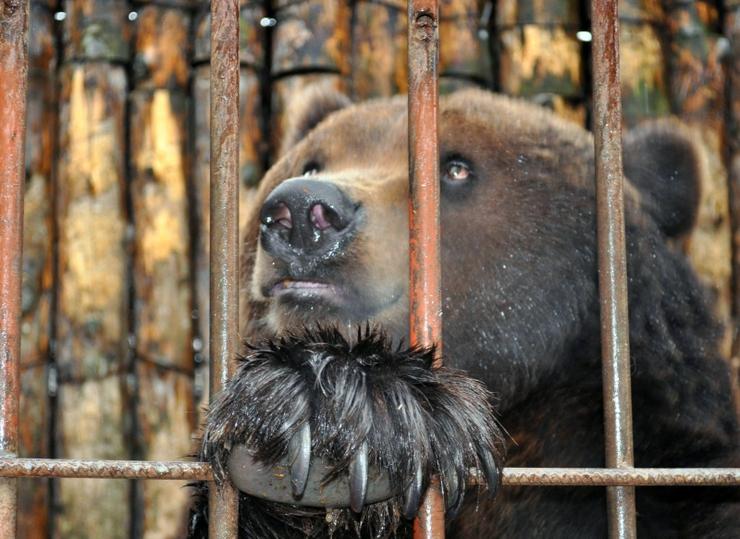 Три медведя не в сказке