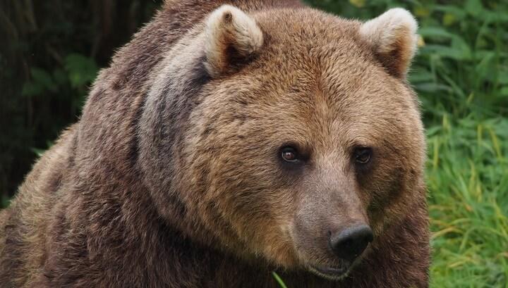 Экс-депутата задрал на охоте медведь