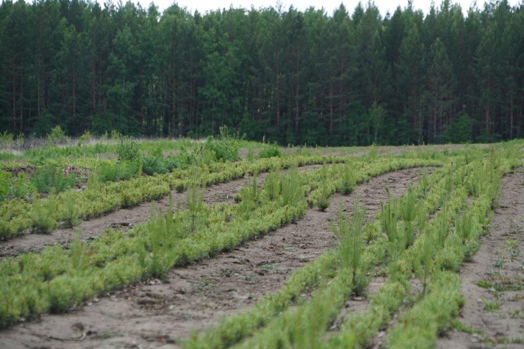 Эксперимент по выращиванию кедра с закрытой корневой системой проводят в Иркутской области